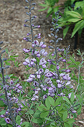 Purple Smoke False Indigo (Baptisia 'Purple Smoke') at Valley View Farms