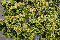 Dwarf Golden Hinoki Falsecypress (Chamaecyparis obtusa 'Nana Lutea') at Valley View Farms