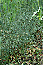 Soft Rush (Juncus inflexus) at Valley View Farms