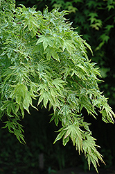 Higasa Yama Japanese Maple (Acer palmatum 'Higasa Yama') at Valley View Farms