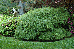 Cutleaf Japanese Maple (Acer palmatum 'Dissectum Viridis') at Valley View Farms