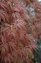Inaba Shidare Cutleaf Japanese Maple (Acer palmatum 'Inaba Shidare') at Valley View Farms