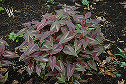 Red Dragon Fleeceflower (Persicaria microcephala 'Red Dragon') at Valley View Farms