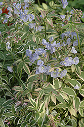 Touch Of Class Jacob's Ladder (Polemonium reptans 'Touch Of Class') at Valley View Farms