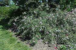 Hers Manchurian Lilac (Syringa pubescens 'Hers') at Valley View Farms