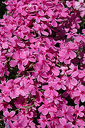 Red Wings Moss Phlox (Phlox subulata 'Red Wings') at Valley View Farms