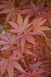 Pixie Dwarf Japanese Maple (Acer palmatum 'Pixie Dwarf') at Valley View Farms