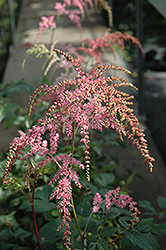 Ostrich Plume Astilbe (Astilbe x arendsii 'Ostrich Plume') at Valley View Farms
