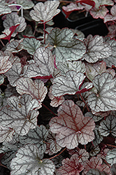 Silver Scrolls Coral Bells (Heuchera 'Silver Scrolls') at Valley View Farms