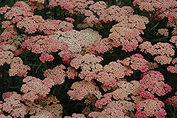 Apricot Delight Yarrow (Achillea millefolium 'Apricot Delight') at Valley View Farms