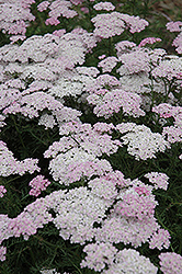 Wonderful Wampee Yarrow (Achillea millefolium 'Wonderful Wampee') at Valley View Farms