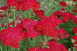 Pomegranate Yarrow (Achillea millefolium 'Pomegranate') at Valley View Farms