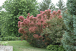 Royal Purple Smokebush (Cotinus coggygria 'Royal Purple') at Valley View Farms