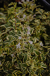 Twist of Lime™ Glossy Abelia (Abelia x grandiflora 'Hopley's') at Valley View Farms
