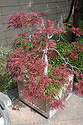 Ever Red Lace-Leaf Japanese Maple (Acer palmatum 'Ever Red') at Valley View Farms