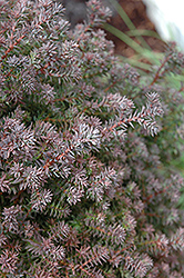 Red Star Whitecedar (Chamaecyparis thyoides 'Red Star') at Valley View Farms