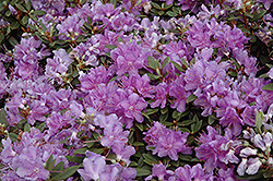 Purple Gem Rhododendron (Rhododendron 'Purple Gem') at Valley View Farms