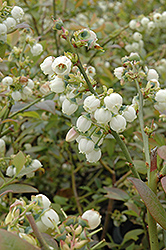 Earliblue Blueberry (Vaccinium corymbosum 'Earliblue') at Valley View Farms