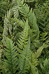 Korean Rock Fern (Polystichum tsus-simense) at Valley View Farms