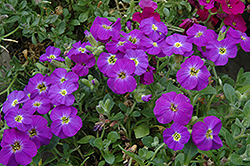 Axcent™ Violet With Eye Rock Cress (Aubrieta 'Axcent Violet With Eye') at Valley View Farms