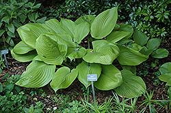 Sum and Substance Hosta (Hosta 'Sum and Substance') at Valley View Farms
