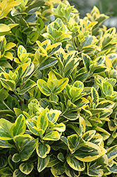 Gold Variegated Japanese Euonymus (Euonymus japonicus 'Aureomarginatus') at Valley View Farms