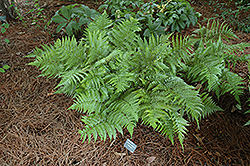 Autumn Fern (Dryopteris erythrosora) at Valley View Farms