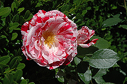 Scentimental Rose (Rosa 'Scentimental') at Valley View Farms