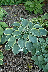 American Halo Hosta (Hosta 'American Halo') at Valley View Farms
