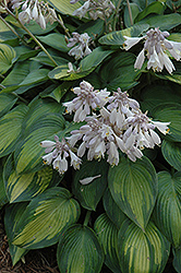 June Hosta (Hosta 'June') at Valley View Farms