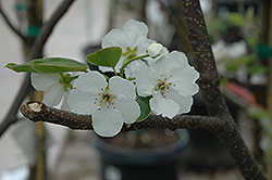 Hosui Asian Pear (Pyrus pyrifolia 'Hosui') at Valley View Farms