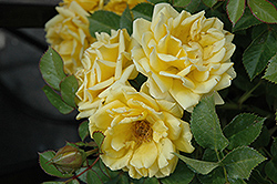 Yellow Sunblaze® Rose (Rosa 'Meiskaille') at Valley View Farms