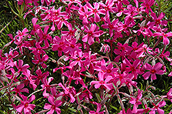 Scarlet Flame Moss Phlox (Phlox subulata 'Scarlet Flame') at Valley View Farms