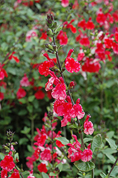 Hot Lips Sage (Salvia microphylla 'Hot Lips') at Valley View Farms