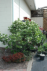 Winterthur Viburnum (Viburnum nudum 'Winterthur') at Valley View Farms