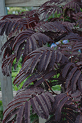 Summer Chocolate Mimosa (Albizia julibrissin 'Summer Chocolate') at Valley View Farms