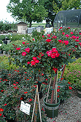 Knock Out® Rose Tree (Rosa 'Radrazz') at Valley View Farms