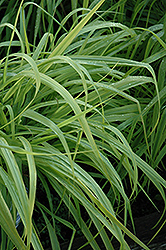 Dallas Blues Switch Grass (Panicum virgatum 'Dallas Blues') at Valley View Farms