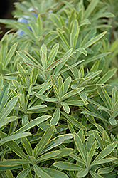 Ascot Rainbow Variegated Spurge (Euphorbia 'Ascot Rainbow') at Valley View Farms