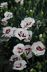 Scent First® Coconut Surprise Pinks (Dianthus 'WP05Yves') at Valley View Farms