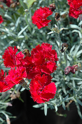 Fire Star Pinks (Dianthus 'Devon Xera') at Valley View Farms