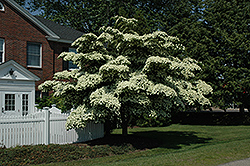 Chinese Dogwood (Cornus kousa) at Valley View Farms