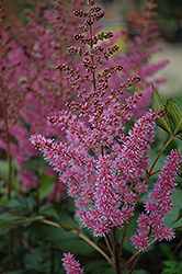 Maggie Daley Astilbe (Astilbe chinensis 'Maggie Daley') at Valley View Farms