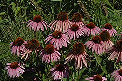Purple Coneflower (Echinacea purpurea) at Valley View Farms