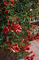 Flamenco Trumpetvine (Campsis radicans 'Flamenco') at Valley View Farms