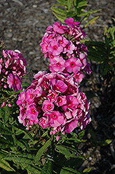 Cosmopolitan Garden Phlox (Phlox paniculata 'Cosmopolitan') at Valley View Farms