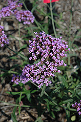 Lollipop Verbena (Verbena bonariensis 'Lollipop') at Valley View Farms