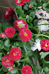 Bellisima Red English Daisy (Bellis perennis 'Bellissima Red') at Valley View Farms