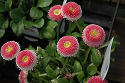 Bellisima Pink English Daisy (Bellis perennis 'Bellissima Pink') at Valley View Farms
