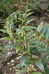 Coast Fetterbush (Leucothoe axillaris) at Valley View Farms